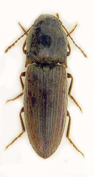 Agriotes brevis